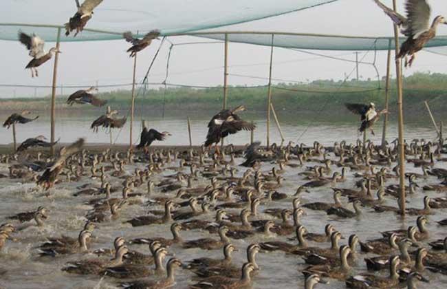 野鸭的高效饲养管理技术