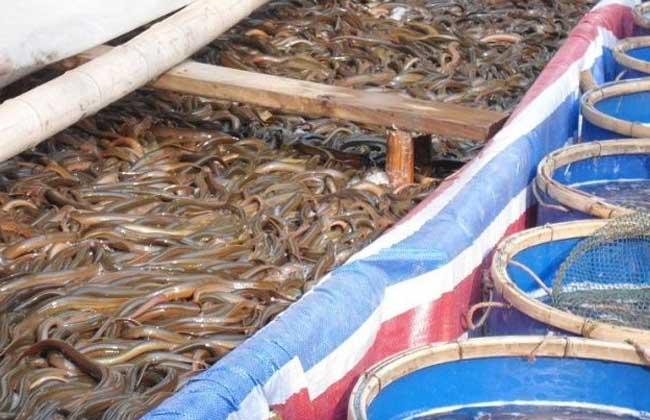 野生黄鳝种苗采集及驯养技术