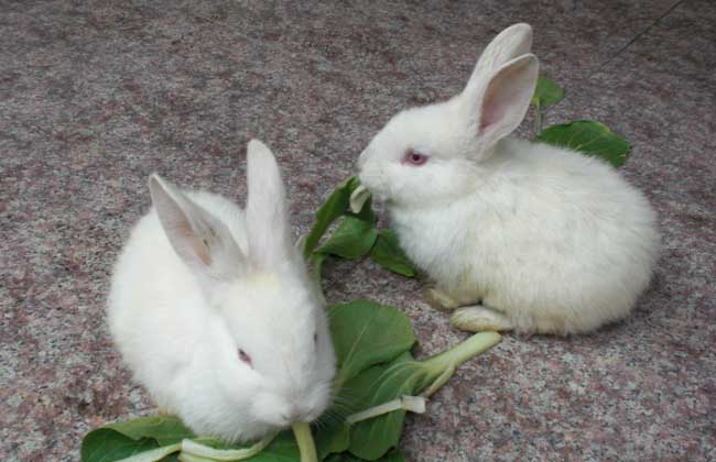 獭兔小兔早断奶管理技术