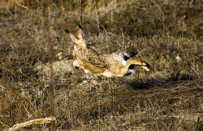 野兔的春季养殖要注意保温防寒