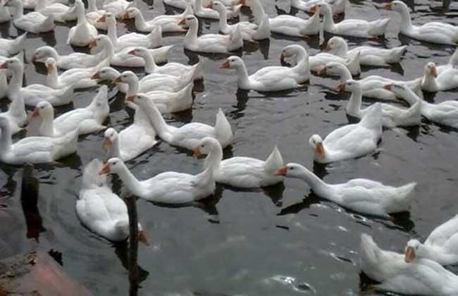 冬季养雏鹅七项饲养要点
