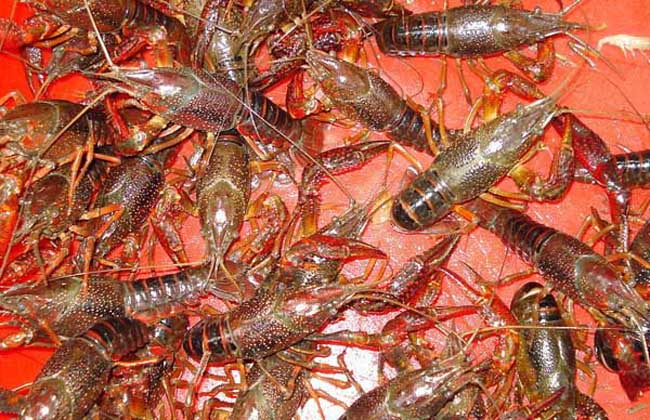 清除龙虾池的杂物有那些方法