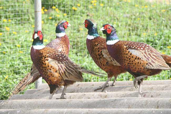 野鸡养殖场的建设方法
