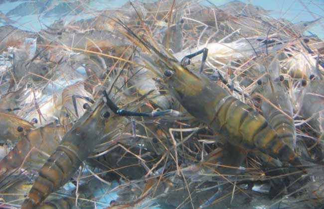 南美白对虾的饲料营养