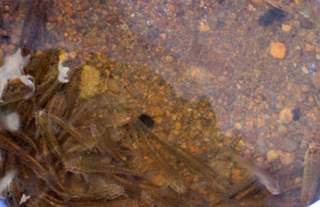 无土养殖泥鳅技术