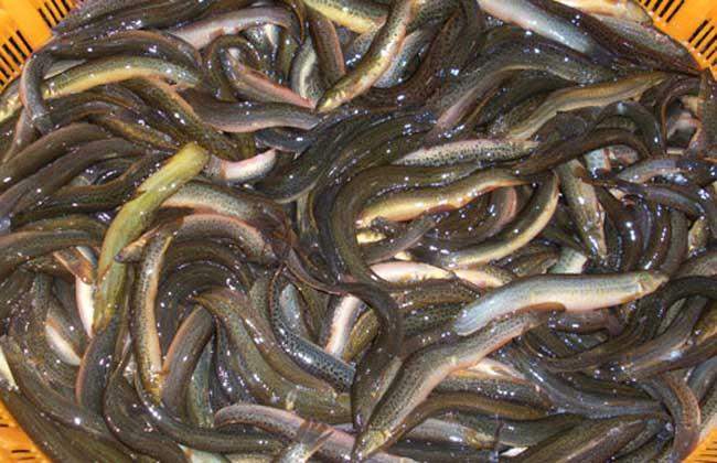 泥鳅的营养价值