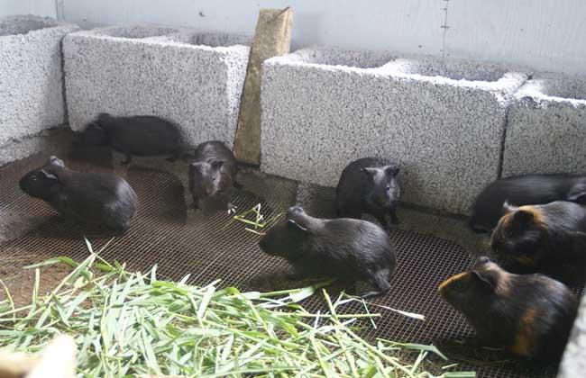 黑豚的营养价值及其饲养