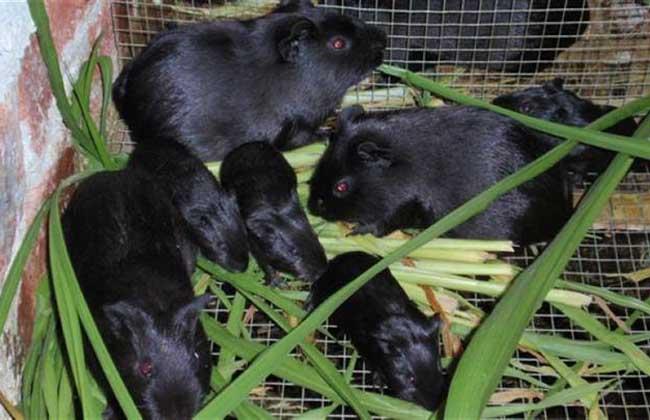黑豚养殖需规模化