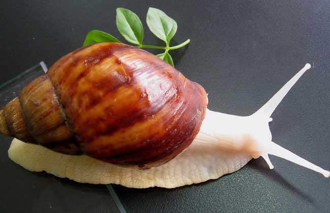 白玉蜗牛的饲养管理技术