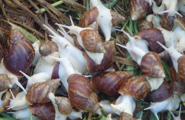 蜗牛养殖的常用方法