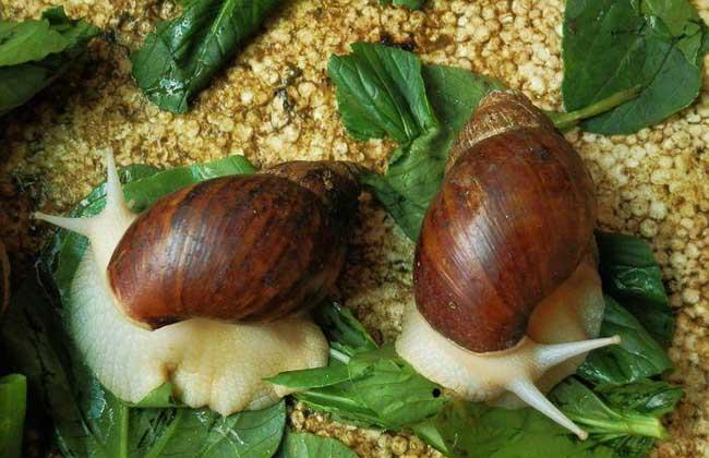 蜗牛的养殖价值