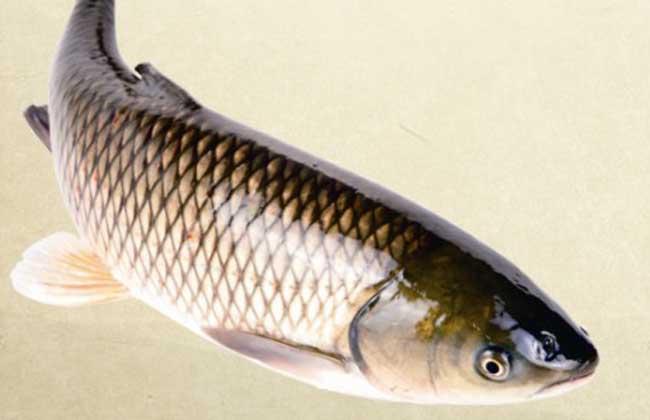 草鱼的繁殖技术