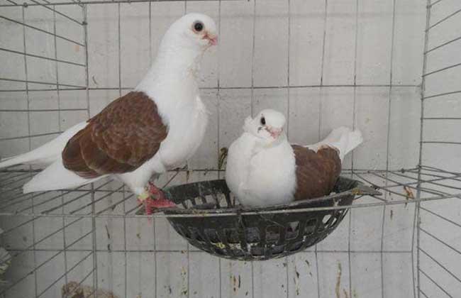鸽子的生活习性
