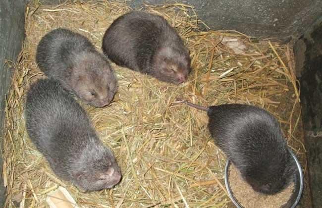 野生竹鼠养殖技术