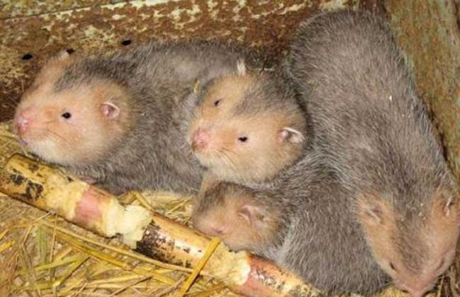 竹鼠幼崽死亡率高该怎么办