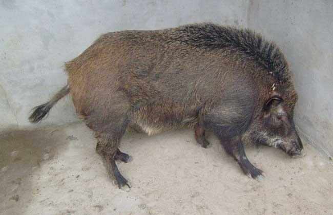 特种野猪冬季管理方案