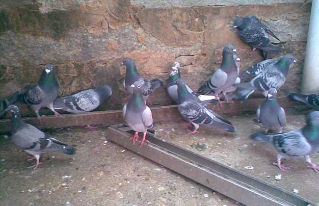 鸽子养殖户怎么选择鸽子养殖设备