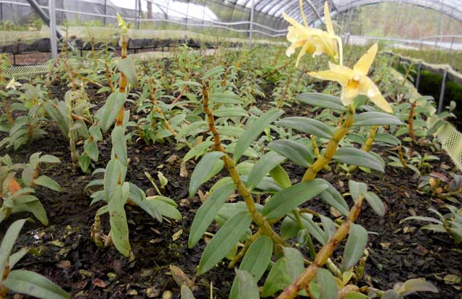 铁皮石斛种植技术视频