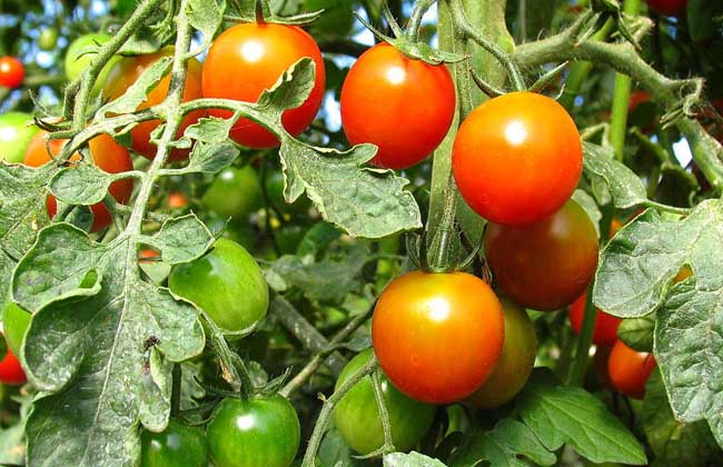 孕妇可以吃西红柿吗