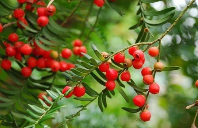 红豆杉果实的功效与作用