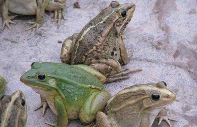 牛蛙的市场价格