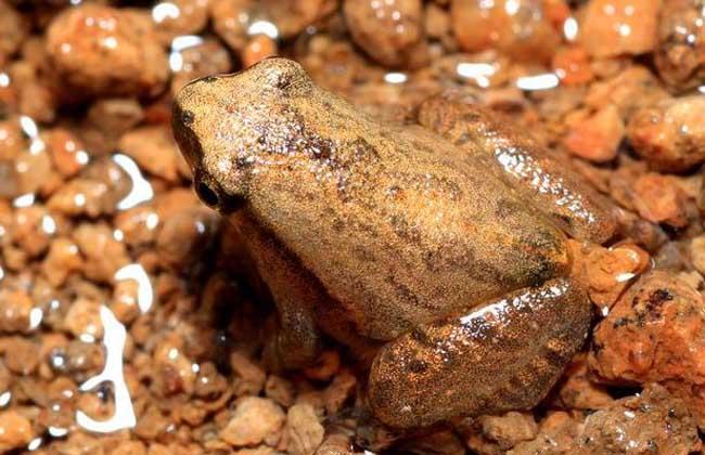 牛蛙的食用价值