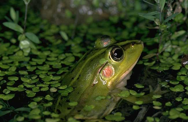 牛蛙的养殖价值