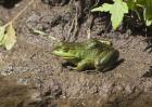 牛蛙品种图片大全