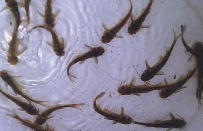 黄颡鱼的饲料配方和投喂方法