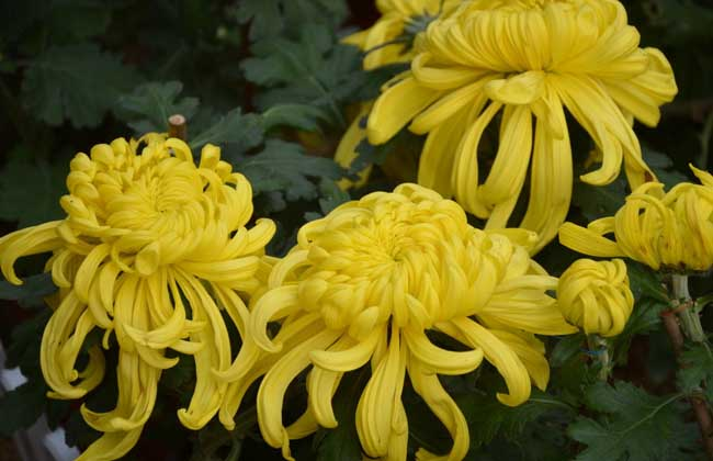 菊花种植技术视频