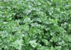 芹菜的品种及图片大全