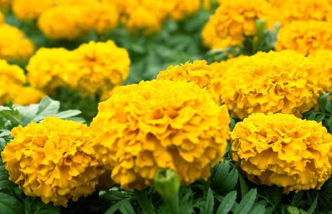 万寿菊的观赏价值