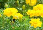 万寿菊的产地分布