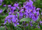 紫罗兰的品种分类