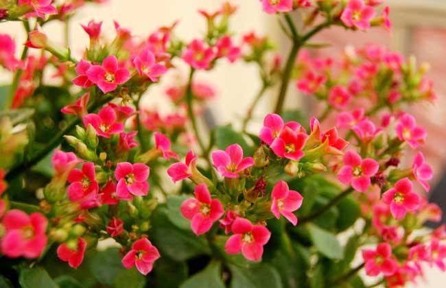 长寿花品种名称图片图片