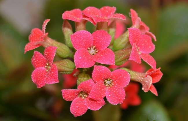 长寿花叶子品种图图片