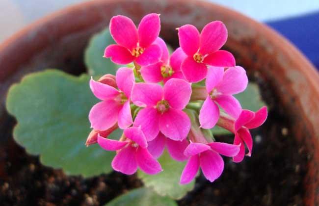 长寿花最好品种及图片图片