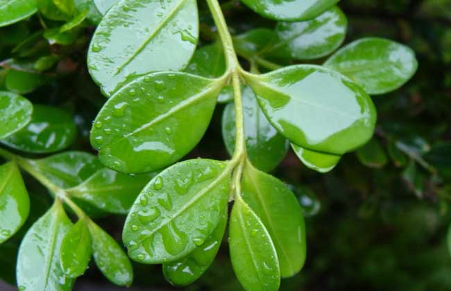 黄杨的繁殖方法