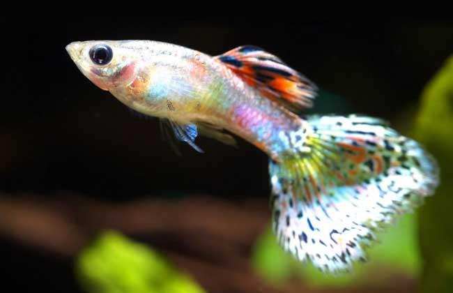 孔雀鱼的品种分类