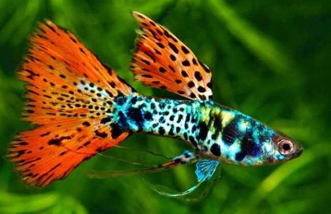 孔雀鱼的繁殖方法