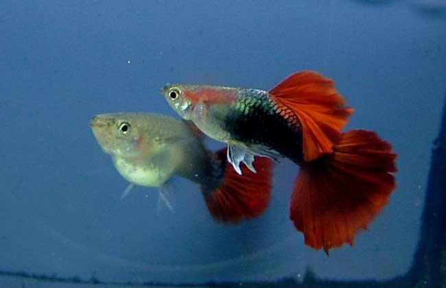 孔雀鱼生小鱼的前兆