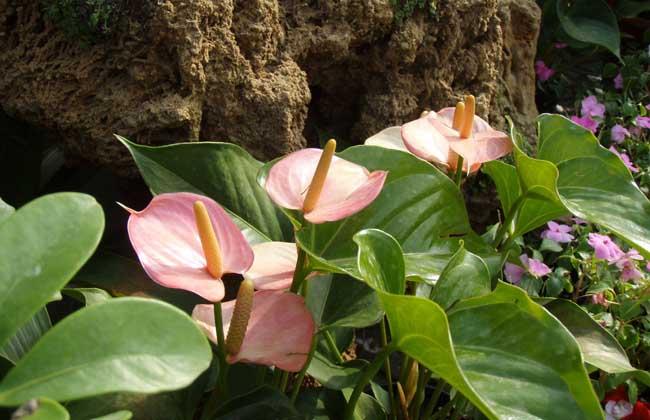 马蹄莲的花语和传说