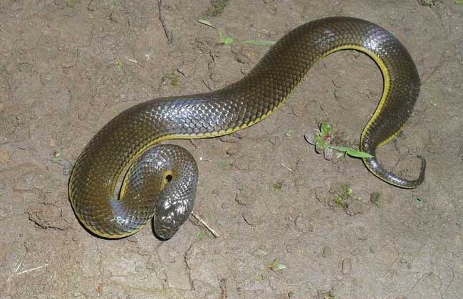 铅色水蛇有毒吗