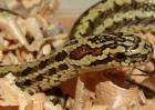 白条锦蛇有毒吗