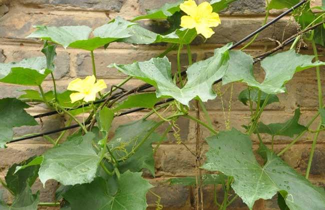 丝瓜的种植时间