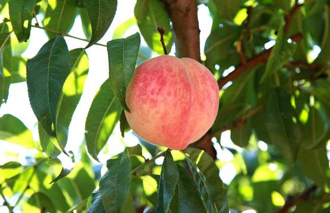 桃树种植技术视频