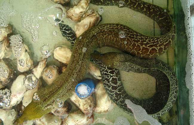 鳗鱼的生活习性