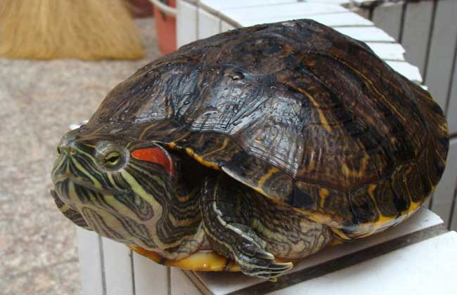 巴西龟多少钱一只
