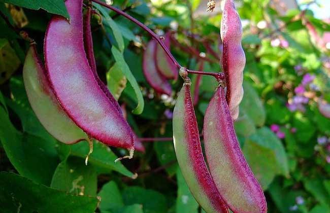 扁豆中毒怎么办