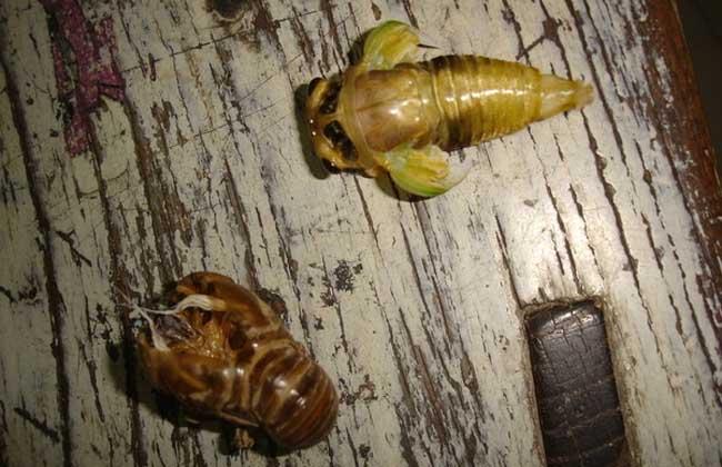 金蝉的常见做法